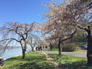 Treelined Cherry Walk in Riverside Drive